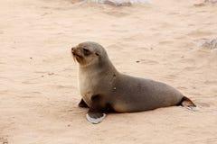 Kleiner Seelöwe - Südafrikanischer Seebär im Kap-Kreuz, Namibia Lizenzfreies Stockfoto