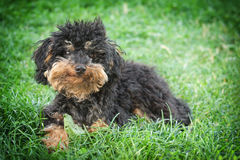 Kleiner shaggy Hund Lizenzfreie Stockfotografie