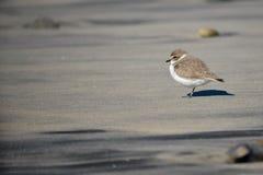 Kleiner Shorebird lizenzfreies stockbild