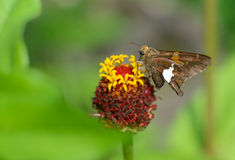 Kleiner Silber-beschmutzter Kapitän-Schmetterling zieht auf ein Köpfchen ein Lizenzfreie Stockfotos