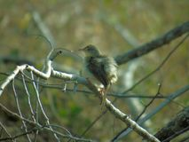 Kleiner Sonnenvogel, Blyth-` s Reed Warbler Acrocephalus Dumetorum stockbild