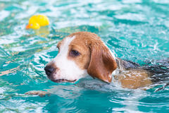 Kleiner Spürhundhund, der auf dem Swimmingpool spielt Stockbild