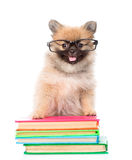 Kleiner Spitzwelpe mit den Gläsern, die auf Bücher stehen Getrennt Lizenzfreies Stockfoto