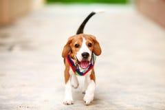 Kleiner Spürhund läuft mit Glückgesicht Stockfotografie