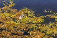 Kleiner sterbender Fluss wurde mit Sumpfpflanzen überwältigt Verschmutzung des umgebenden Straddle, schnelle Algenblüte Ökologisc lizenzfreie stockfotos