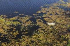 Kleiner sterbender Fluss wurde mit Sumpfpflanzen überwältigt Verschmutzung des umgebenden Straddle, schnelle Algenblüte Ökologisc lizenzfreie stockfotografie