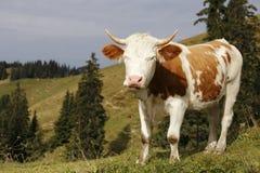 Kleiner Stier Stockfotografie