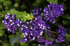 Kleiner Strauch blüht Purpurrotes und weißes, Hintergrund Lizenzfreie Stockfotos