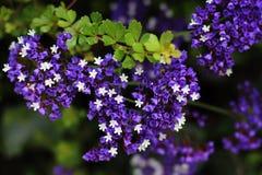 Kleiner Strauch blüht Purpurrotes und weißes, Hintergrund Stockfoto