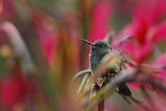 Kleiner Streifen-angebundener Kolibri, der auf der Blume mit rotem Hintergrund sitzt Lizenzfreies Stockfoto