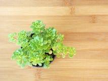 Kleiner Succulent Lizenzfreies Stockfoto