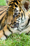 Kleiner Tiger Lizenzfreies Stockbild