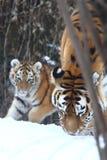 Kleiner Tiger mit Mutter stockfoto