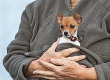 Kleiner Toy Fox Terrier Puppy Cuddled in den Armen des Inhabers lizenzfreie stockfotografie