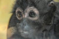 Kleiner trauriger Affe Stockbild