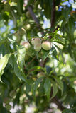Kleiner unausgereifter grüner Pfirsich auf dem Baum in einem Obstgarten Stockbild