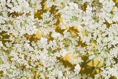 Kleiner und empfindlicher Hintergrund der weißen Blumen Stockfotos