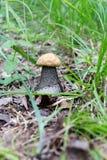 Kleiner und großer weißer Boletuspilz mit weißer Kappe wächst im Waldvegetarischen rohen Lebensmittel Stockfotografie