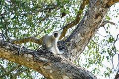 Kleiner vervet Affe auf einen Baum stockbild
