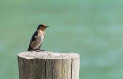 Kleiner Vogel auf einem Stumpf mit einem grünen Hintergrund Stockfotografie