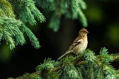 Kleiner Vogel auf einem Tannenzweig Lizenzfreie Stockfotos