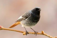 Kleiner Vogel auf einer Niederlassung Lizenzfreie Stockbilder