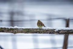 Kleiner Vogel auf einer Niederlassung im Winter Lizenzfreies Stockfoto