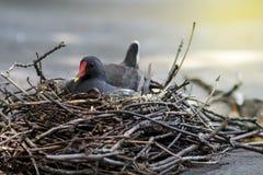 Kleiner Vogel auf Nest Stockfotos