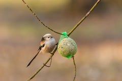 Kleiner Vogel auf Niederlassung des Baums Stockbilder