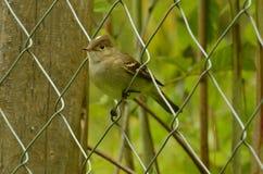 Kleiner Vogel, der auf einem Metallzaun possing ist Lizenzfreie Stockfotografie