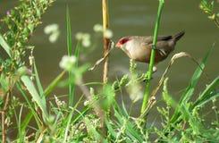 Kleiner Vogel Geläufiges Waxbill Lizenzfreie Stockfotos