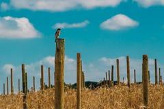Kleiner Vogel hockte auf einem Pfosten auf einem Gebiet Lizenzfreie Stockbilder