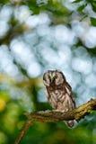 Kleiner Vogel im Holz Nördliche Eule, Aegolius-funereus, sitzend auf dem Baumast im grünen Waldhintergrund Eule versteckt im Grün Stockfotografie
