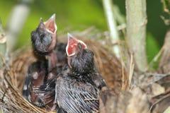 Kleiner Vogel im Nest Lizenzfreie Stockfotografie