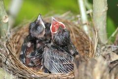 Kleiner Vogel im Nest Stockfoto
