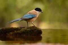 Kleiner Vogel mit blauem Endstück auf einem Stein mitten in dem See Stockfotos
