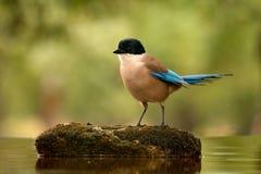 Kleiner Vogel mit blauem Endstück auf einem Stein mitten in dem See Lizenzfreies Stockfoto