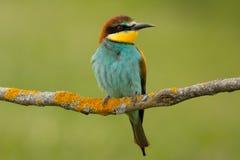 Kleiner Vogel mit einem netten Gefieder Lizenzfreies Stockbild