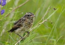 Kleiner Vogel Oenanthe lizenzfreie stockfotos