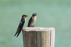 Kleiner Vogel zwei auf einem Stumpf Lizenzfreies Stockbild