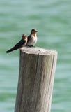 Kleiner Vogel zwei auf einem Stumpf Lizenzfreie Stockfotos
