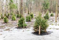 Kleiner Wald der Fichten im Frühjahr stockbild