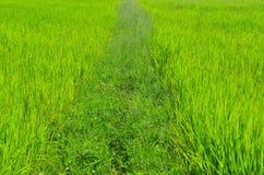 Kleiner Weg auf dem Reisgebiet Lizenzfreie Stockfotografie