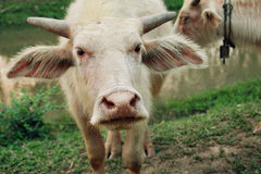 Kleiner weißer Büffel Stockbild