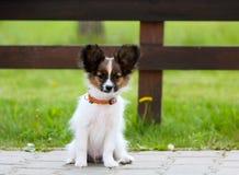 Kleiner weißer flaumiger Welpe, der draußen sitzt Ein Hund auf einem Hintergrund des grünen Grases Lizenzfreies Stockbild
