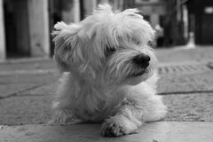 Kleiner weißer Hund Lizenzfreie Stockfotografie