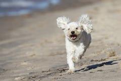Kleiner weißer Hund, der auf Sandy Beach läuft Lizenzfreies Stockfoto