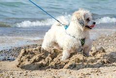 Kleiner weißer Hund, der in den Sand gräbt Stockfotos