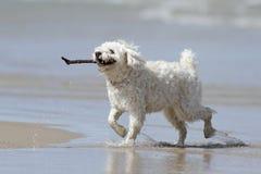 Kleiner weißer Hund, der einen Steuerknüppel auf dem Strand trägt stockbilder