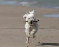 Kleiner weißer Hund, der mit einem Steuerknüppel auf dem Strand läuft stockfotos
